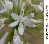 Small photo of Close up of individual Agapanthus Flower