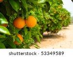 orange tree | Shutterstock . vector #53349589