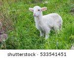 Lamb Free