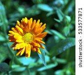 close up view of calendula... | Shutterstock . vector #533577871