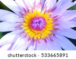close up of violet water lily