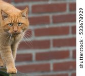 Small photo of Big ginger cat with long whiskers walking on wooden fence