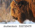 European Bison  Bison Bonasus ...
