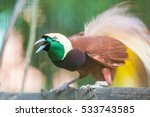Lesser Bird Of Paradise Or...
