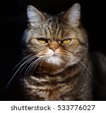 Stock photo grumpy tabby serious british cat on a black background 533776027