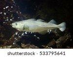 atlantic cod  gadus morhua .... | Shutterstock . vector #533795641