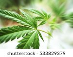 Cannabis High Quality