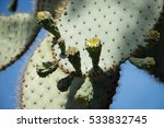 Galapagos Giant Prickly Pear...