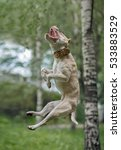 Small photo of American Pit Bull Terrier jumping