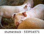 pigs in a farm | Shutterstock . vector #533916571