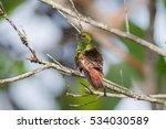 Small photo of Copper-rumped hummingbird (Amazilia tobaci), located in Canaima National Park, Venezuela