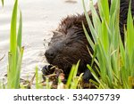 Canadian Beaver Eating Roots I...