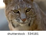 Desert Bobcat, close-up, intense eyes - stock photo
