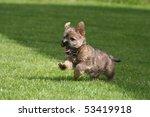 Running Cairn Terrier Puppy