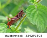 Small photo of Indian locust of Acrididae family perched on green bush