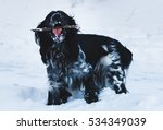 Small photo of Cute Russian black and white cocker spaniel dog, playing and chewing stick on the wintel snow
