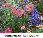 dahlias in a cottage garden... | Shutterstock . vector #534429379