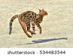 Stock photo young bengal cat jumping and running 534483544