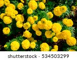 Yellow Marigold Flowers In The...