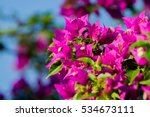 Bougainvillea Thorny Ornamenta...