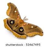 Polyphemus Moth (Antheraea polyphemus).