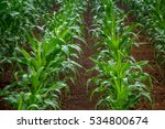 corn plant | Shutterstock . vector #534800674