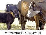 a commercial beef cow and her... | Shutterstock . vector #534839401