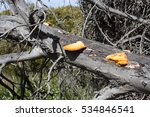 Small photo of Bright color of Orange peel fungus aleuria aurantia contrasts against the old weathered eucalypt tree branches in a Jarrah forest in late winter in Manea Park, Bunbury,South Western Australia.