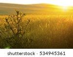 milk thistle on wheat field at...   Shutterstock . vector #534945361