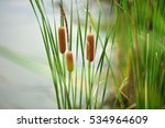 Cattails Bulrush Beside River....