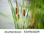 Cattails Bulrush Beside River....