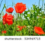 Colorful Poppy Flowers