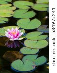 Pink Water Lily Surrounded By...