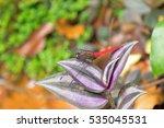 Spine Tufted Skimmer Dragonfly...