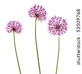 Three Decorative Allium...