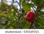 ripe apple on the tree   Shutterstock . vector #535169311
