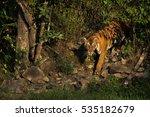 Tiger Queen A Tigress Emerges...