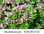 purple azalea blossom in... | Shutterstock . vector #535191715