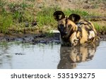 African Wild Dogplaying In...