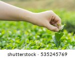 keep and caring the tea leaves | Shutterstock . vector #535245769
