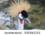 Small photo of African Grey Crowned Crane (Balearica regulorum). Exotic Bird in Zoo of Budapest, Hungary