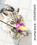 Stock photo siberian breed of cat playing with a feather 535395445