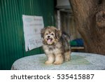 shih tzu mix pomeranian puppy... | Shutterstock . vector #535415887