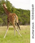Small photo of Giraffe standing in grassland with splayed front legs
