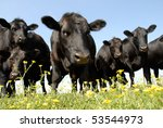 Black Angus And Buttercups At...