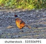Male Pheasant Walking Up A...