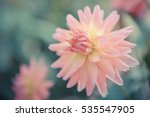 Colorful Of Dahlia Pink Flower...