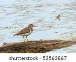 Small photo of Spotted sandpiper, Actitis macularia, standing on a log in the water