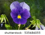 Purple Pansy  Viola Altaica Or...