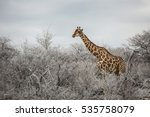 color from dust a giraff... | Shutterstock . vector #535758079